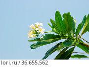 Plumeria most fragrant among beautiful flowers. Plants of paradise... Стоковое фото, фотограф Zoonar.com/Maximilian Buzun / easy Fotostock / Фотобанк Лори