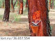 Pinienwald Harzgewinnung - pine forest resin extraction 09. Стоковое фото, фотограф Zoonar.com/LianeM / easy Fotostock / Фотобанк Лори