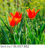 Tulpe rot - tulip red 23. Стоковое фото, фотограф Zoonar.com/LIANEM / easy Fotostock / Фотобанк Лори