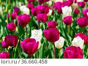 Tulpen lila und weiss - tulips purple and white 01. Стоковое фото, фотограф Zoonar.com/Liane Matrisch / easy Fotostock / Фотобанк Лори