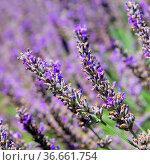 Lavendel - lavender 147. Стоковое фото, фотограф Zoonar.com/Liane Matrisch / easy Fotostock / Фотобанк Лори