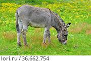Schwarzwald, Baden-Württemberg, Hochschwarzwald, Hausesel auf der... Стоковое фото, фотограф Zoonar.com/Bildagentur Geduldig / easy Fotostock / Фотобанк Лори