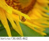 Wassertropfen mit Spiegelung einer Sonnenblume nach Regen, Sonnenblume... Стоковое фото, фотограф Zoonar.com/Bildagentur Geduldig / easy Fotostock / Фотобанк Лори