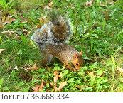 Funny eastern gray squirrel (Sciurus carolinensis), also known as simply grey squirrel, hides nut. Стоковое фото, фотограф Валерия Попова / Фотобанк Лори