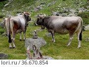Kuh, tier, nutztier, haustier, weide, milch, rind, rindvieh, milchkuh... Стоковое фото, фотограф Zoonar.com/Volker Rauch / easy Fotostock / Фотобанк Лори