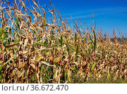 Maisfeld im Herbst - corn field in fall 05. Стоковое фото, фотограф Zoonar.com/Liane Matrisch / easy Fotostock / Фотобанк Лори