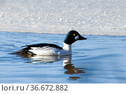 A common goldeneye swims in Hauser Lake in late winter in North Idaho. Стоковое фото, фотограф Zoonar.com/Gregory Johnston / easy Fotostock / Фотобанк Лори