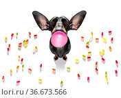 Dachshund eating sweet candies and chewing bubble gum, isolated on... Стоковое фото, фотограф Zoonar.com/Javier Brosch / easy Fotostock / Фотобанк Лори