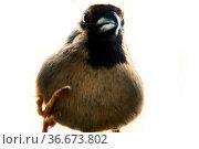 Sparrows as the most common birds in the human environment. Bird pokes... Стоковое фото, фотограф Zoonar.com/Maximilian Buzun / easy Fotostock / Фотобанк Лори