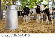 Aluminium milk churn on hay in outdoor stall with calves. Стоковое фото, фотограф Яков Филимонов / Фотобанк Лори