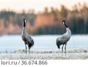 Common cranes (Grus grus) Sweden. April. Стоковое фото, фотограф Eric  Medard / Nature Picture Library / Фотобанк Лори