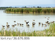 """Greylag geese (Anser anser) on Lake Lange Lacke, Neusiedlersee â. """" ... Стоковое фото, фотограф GFC Collection / age Fotostock / Фотобанк Лори"""