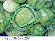 Kraut, weißkraut, gemüse, vegetarisch, ernährung, lebensmittel, nahrung... Стоковое фото, фотограф Zoonar.com/Volker Rauch / easy Fotostock / Фотобанк Лори