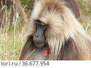 Gelada, Semien Mountains National Park, Ethiopia, Africa. Стоковое фото, фотограф Zoonar.com/Alexander Ludwig / easy Fotostock / Фотобанк Лори