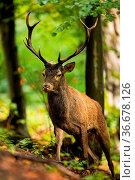 Active red deer, cervus elaphus, stag walking up a hill in summer... Стоковое фото, фотограф Zoonar.com/Jakub Mrocek / easy Fotostock / Фотобанк Лори