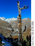 Toter Baum über dem Mattertal mit dem Ort Zermatt, hinten die Gipfel... Стоковое фото, фотограф Zoonar.com/Mike / easy Fotostock / Фотобанк Лори