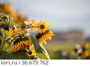 Beautiful yellow sunflowers on an agriculture field, summer time. Стоковое фото, фотограф Zoonar.com/Patrick Daxenbichler / easy Fotostock / Фотобанк Лори
