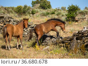 Two wild Garrano (Equus ferus caballus) foals, climbing over a crumbling... Стоковое фото, фотограф Kristel Richard / Nature Picture Library / Фотобанк Лори