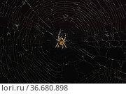 Паук крестовик на паутине на темном фоне. Стоковое фото, фотограф Наталья Гармашева / Фотобанк Лори