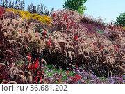 Pennisetum glaucum Purple Majesty, Blaues Lampenputzer-Gras, chinese... Стоковое фото, фотограф Zoonar.com/Peter Himmelhuber / age Fotostock / Фотобанк Лори