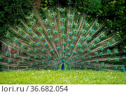 The Indian peafowl or blue peafowl, Pavo cristatus is a large and... Стоковое фото, фотограф Zoonar.com/Rudolf Ernst / age Fotostock / Фотобанк Лори