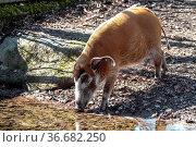 Red river hog, Potamochoerus porcus, also known as the bush pig. ... Стоковое фото, фотограф Zoonar.com/Rudolf Ernst / age Fotostock / Фотобанк Лори