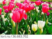Tulpe rot weiss - tulip red white 01. Стоковое фото, фотограф Zoonar.com/LIANEM / easy Fotostock / Фотобанк Лори