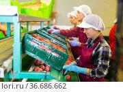 Three women sorting peaches. Стоковое фото, фотограф Яков Филимонов / Фотобанк Лори