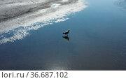Pallas's fish eagle, Haliaeetus leucoryphus, in the middle of pond, Europe. Стоковое видео, видеограф Dzmitry Astapkovich / Фотобанк Лори