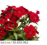 Dark red garden carnation flowers isolated on white background. Стоковое фото, фотограф Tamara Kulikova / Фотобанк Лори