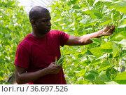 African american grower harvesting bean in farm glasshouse. Стоковое фото, фотограф Яков Филимонов / Фотобанк Лори