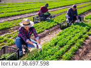 Peruvian female horticulturist gathering crop of arugula. Стоковое фото, фотограф Яков Филимонов / Фотобанк Лори