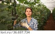 Portrait of smiling woman horticulturist with freshly harvested ripe cucumbers in farm hothouse. Стоковое видео, видеограф Яков Филимонов / Фотобанк Лори