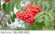 Juicy red rowan berries on a tree branch. Healthy food. Vitamins in food. Autumn plants. Bright winter berries close-up. The movement of rowan berries in the wind. A sunny autumn day. Стоковое видео, видеограф Ирина Ткачук / Фотобанк Лори