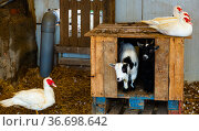 Ducks and goats in backyard of farm. Стоковое фото, фотограф Яков Филимонов / Фотобанк Лори