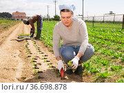 Workwoman planting lettuce seedlings. Стоковое фото, фотограф Яков Филимонов / Фотобанк Лори
