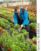 Portrait of man tending and cultivating flowers mint in glasshouse. Стоковое фото, фотограф Яков Филимонов / Фотобанк Лори