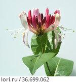 Geissblatt, Lonicera caprifolium. Стоковое фото, фотограф Zoonar.com/Manfred Ruckszio / age Fotostock / Фотобанк Лори