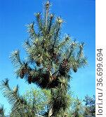 Schwerin-Kiefer, Kiefer ,Pinus schwerinii. Стоковое фото, фотограф Zoonar.com/Manfred Ruckszio / age Fotostock / Фотобанк Лори