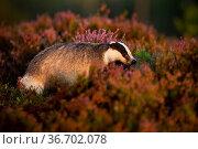 Adult european badger, meles meles, hiding in bushes of heather in... Стоковое фото, фотограф Zoonar.com/Jakub Mrocek / easy Fotostock / Фотобанк Лори