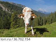 Jungvieh auf der Weide - Kalb auf einer Wiese im der Oberbrunnalm... Стоковое фото, фотограф Zoonar.com/Eder Christa / easy Fotostock / Фотобанк Лори