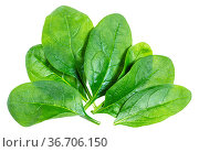 Several fresh green leaves of Spinach leafy vegetable isolated on... Стоковое фото, фотограф Zoonar.com/Valery Voennyy / easy Fotostock / Фотобанк Лори