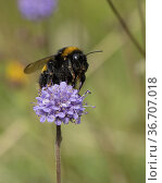 Buff-tailed bumblebee- Bombus terrestris pollinates on Devil's-bit... Стоковое фото, фотограф Lisa Geoghegan / age Fotostock / Фотобанк Лори