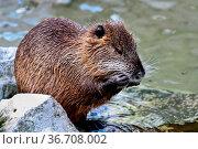 Coypu, Myocastor coypus, also known as river rat or nutria, is a large... Стоковое фото, фотограф Zoonar.com/Rudolf Ernst / easy Fotostock / Фотобанк Лори