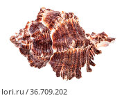 Dark brown seashell of mollusk isolated on white background. Стоковое фото, фотограф Zoonar.com/Valery Voennyy / easy Fotostock / Фотобанк Лори