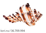 Brown striped shell of muricidae mollusk isolated on white background. Стоковое фото, фотограф Zoonar.com/Valery Voennyy / easy Fotostock / Фотобанк Лори