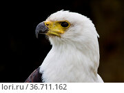 The African Fish Eagle, Haliaeetus vocifer or the African sea eagle... Стоковое фото, фотограф Zoonar.com/Rudolf Ernst / easy Fotostock / Фотобанк Лори