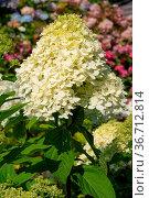 Hydrangea (Hydrangea paniculata), flowers of summer. Стоковое фото, фотограф Zoonar.com/Alexander Ludwig / easy Fotostock / Фотобанк Лори