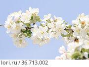Apfelbaum, apfelblüten, zierapfel, wildapfel, blüte, blüten, blume... Стоковое фото, фотограф Zoonar.com/Volker Rauch / easy Fotostock / Фотобанк Лори