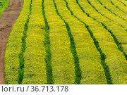 Gorreana Tea Plantation in Sao Miguel Island, Azores, Portugal. Tea... Стоковое фото, фотограф Zoonar.com/Martin Silva Cosentino / easy Fotostock / Фотобанк Лори